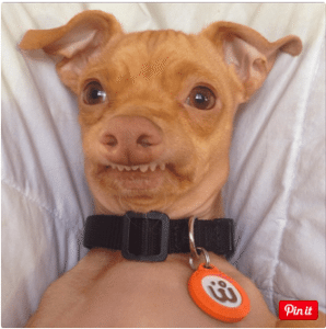 This is a photo of Tuna, one of the charitable dogs on Instagram who has a prominent overbite.